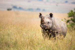 Rhino in Borana Conservancy Kenya