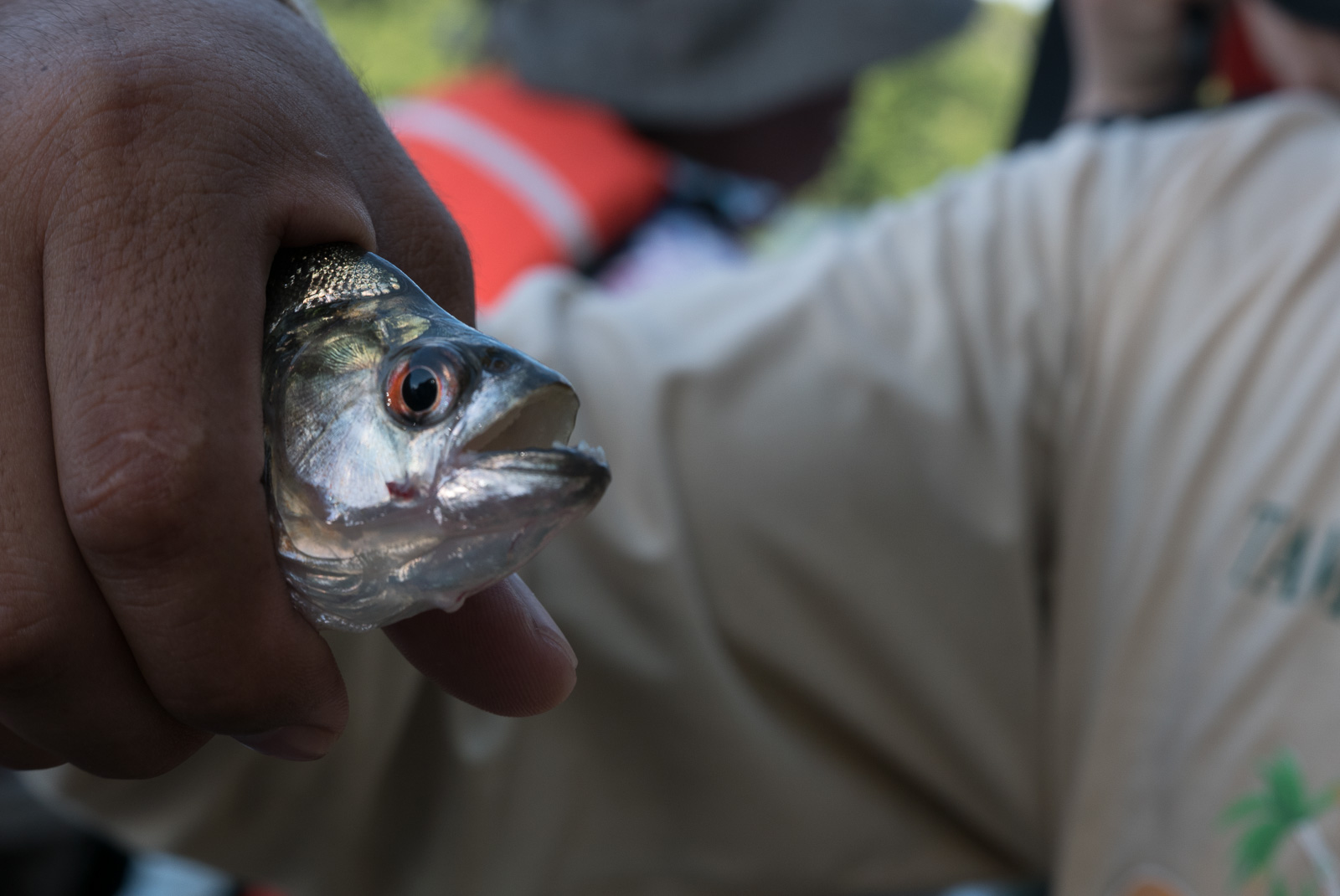 A close up of a piranha in the hands of one of our tour guides.
