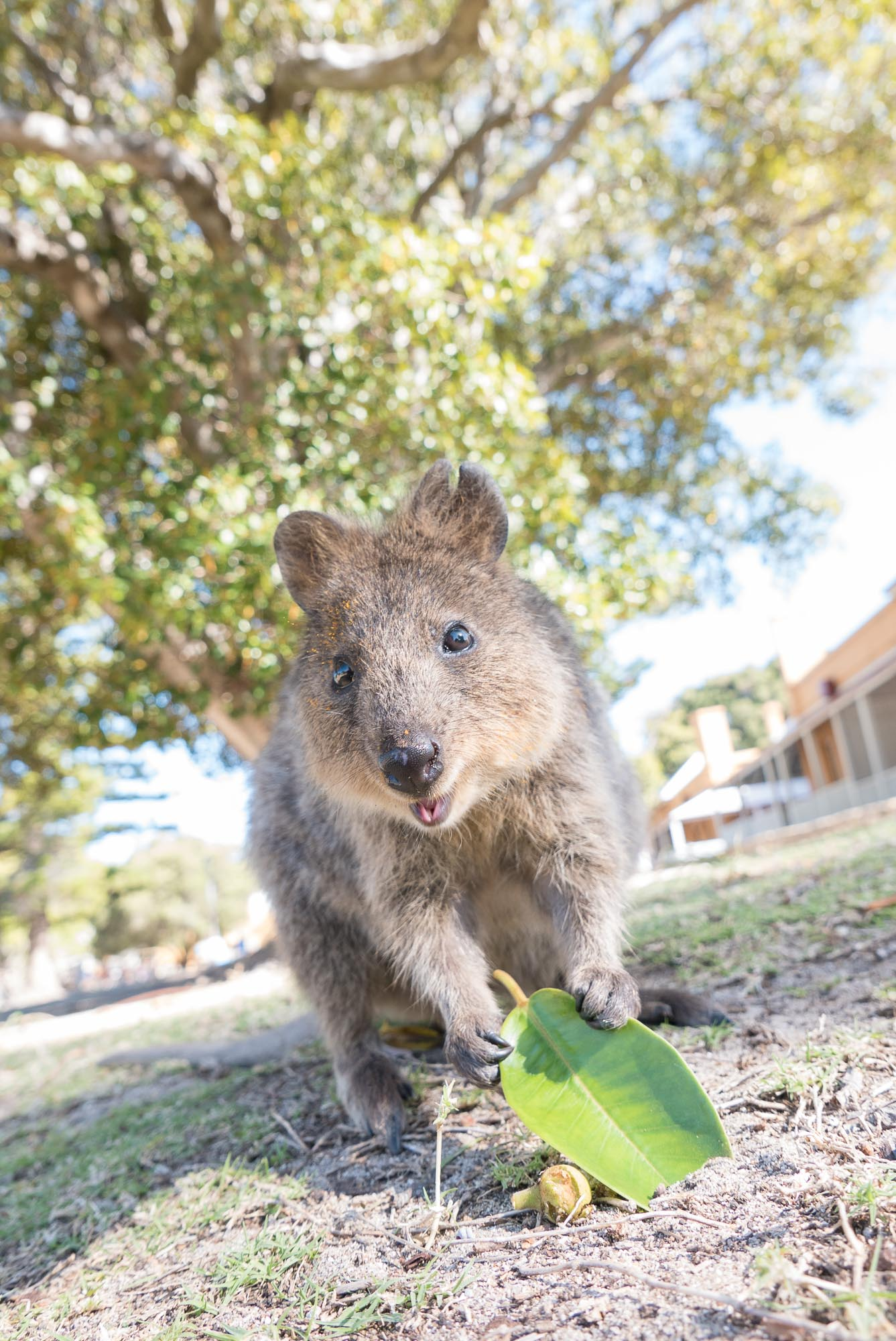 Quokka at Thomson Bay, Rottnest Island