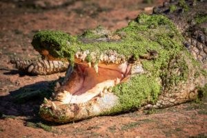 A large Crocodile opens his mouth waiting to be fed at Malcolm Douglas Crocodile Park in Broome, Western Australia